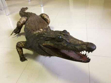 Crocodile empaillé vintage